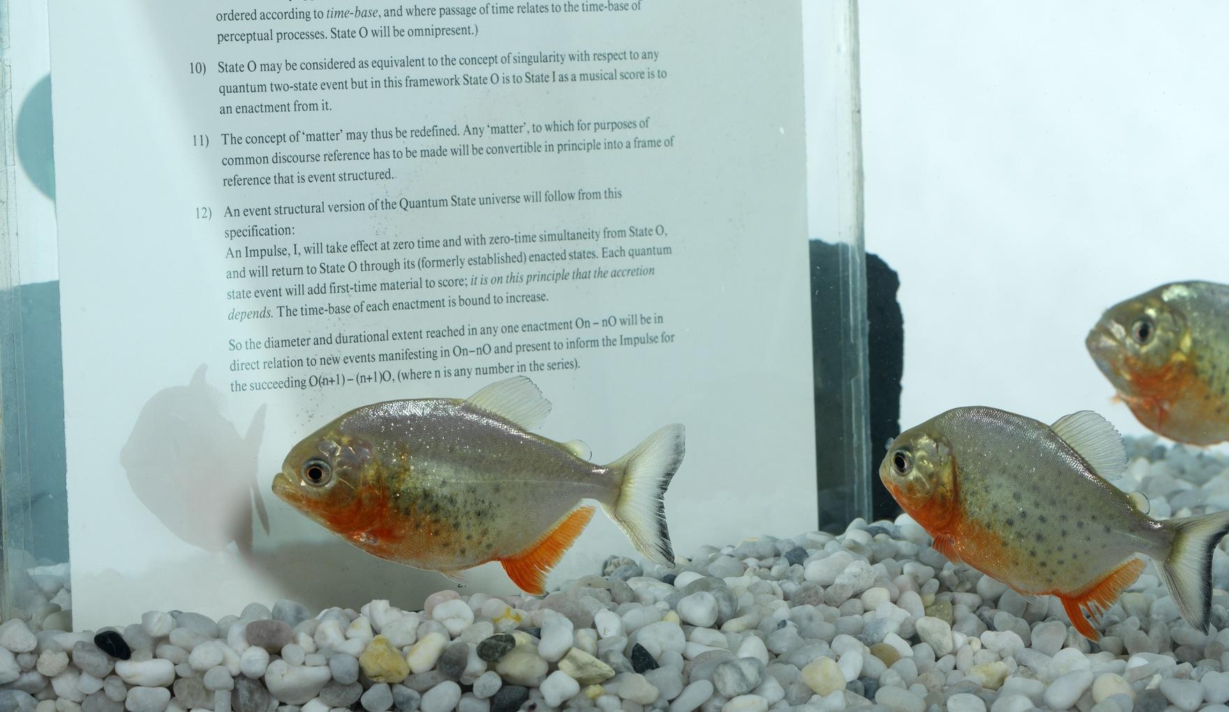 John LathamThey're learning fast (1988) Fish-tank, pages from 'Report of a Surveyor', piranhas Photo: Ken Adlard (MFI GRADUATE AWARD 2013 0)